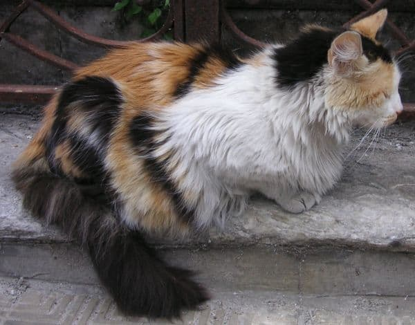 Calico Maine Coon crouching