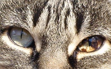 Maine Coon Yellow Eyes: Melanosis
