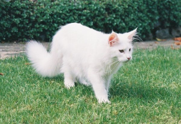 How big is a Maine Coon? Young white Maine Coon