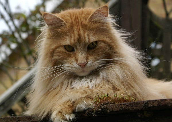 Maine Coon Whiskers: Red tabby Maine Coon