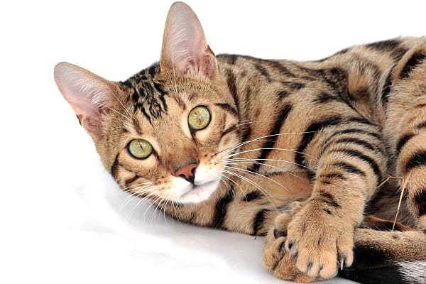 best names for the savannah cat