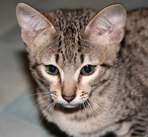 Are Savannah Cats Dangerous?