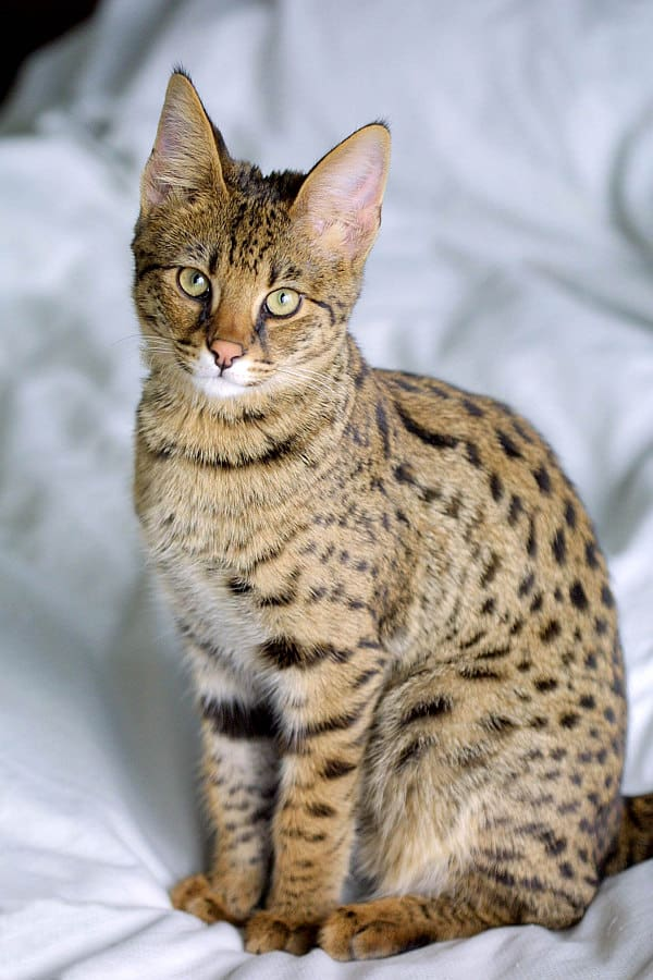 Best Savannah Cat Names