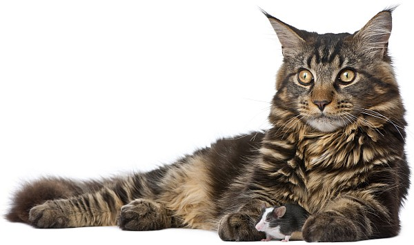 Do all Maine Coons have an M on their forehead? Maine Coon and mouse