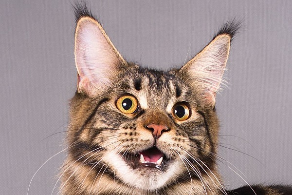 Maine Coon Yellow Eyes: Tabby Maine Coon