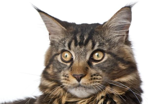 Maine Coon Yellow Eyes: Yellow-eyed tabby Maine Coon