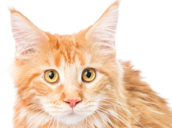 Maine Coon Yellow Eyes: Young red tabby