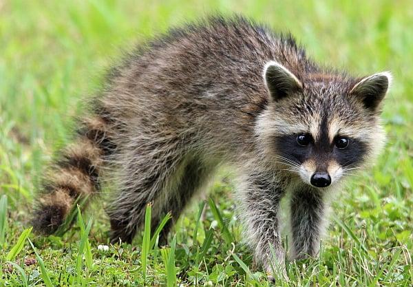 ¿Es un Maine Coon parte mapache? Joven mapache