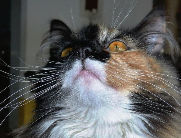 Calico Maine Coon face closeup