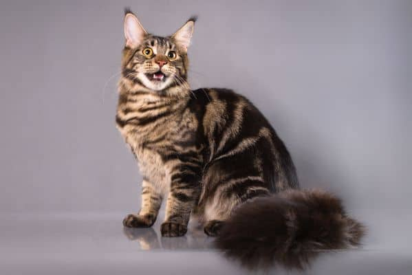 Do All Maine Coons Have An M On Their Forehead? Classic tabby Maine Coon