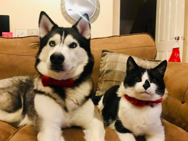 Are Siberian Huskies Good With Cats?