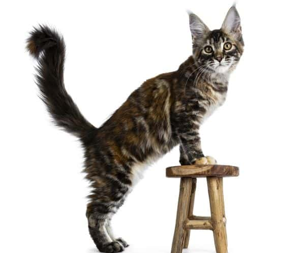 A tortoiseshell Maine Coon which has calico colors.