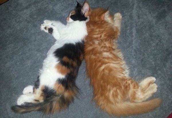 Calico Maine Coon and ginger tabby