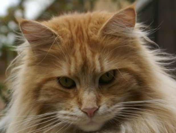 Maine Coon Yellow Eyes: Red tabby Maine Coon