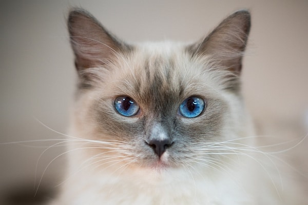 Do Ragdolls always have blue eyes?