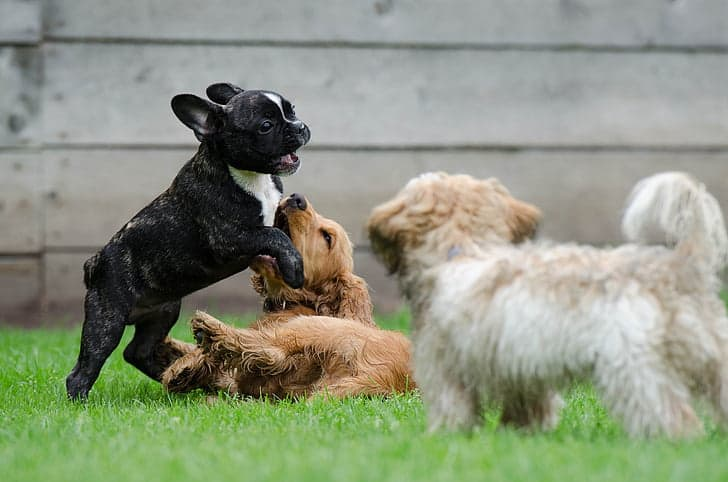 Things To Know Before Buying a French Bulldog: Frenchie and other dogs