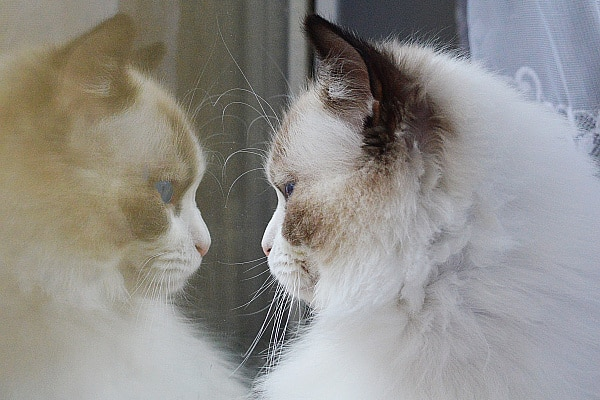 Can Ragdoll cats go outside?