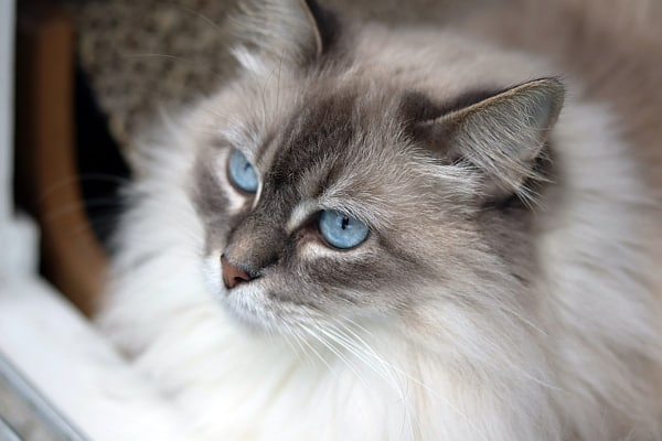 Can Ragdoll cats go outside? Ragdoll face