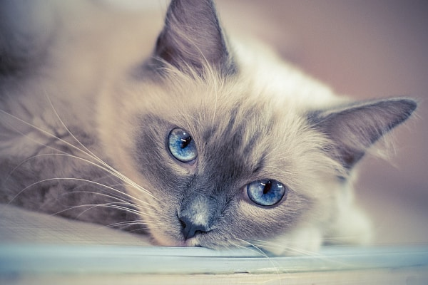Are Ragdoll Cats Destructive? Bored Ragdoll