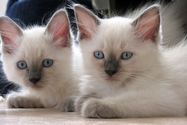 Are Ragdoll Cats Cuddly? kittens