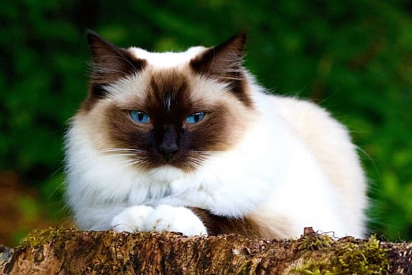When will my Ragdoll cat get fluffy?