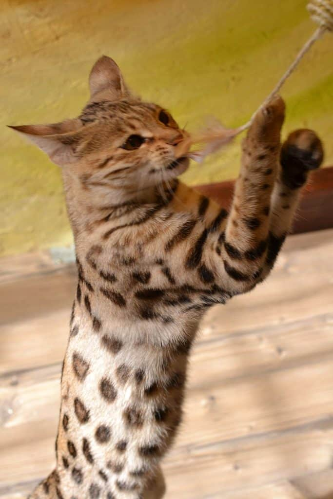 Is the Savannah Cat Domesticated?