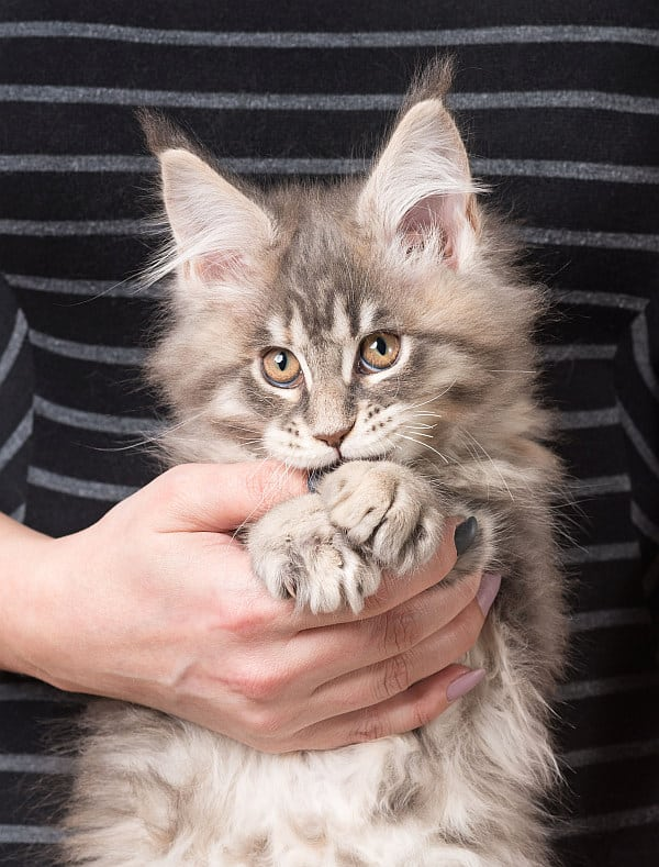 Are Maine Coons Friendly? Tabby Maine Coon kitten