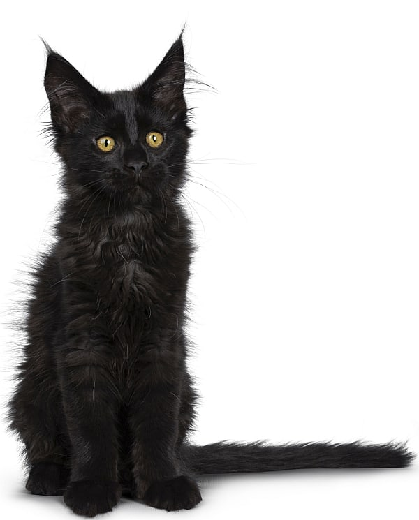 Are Maine Coons friendly? Black kitten