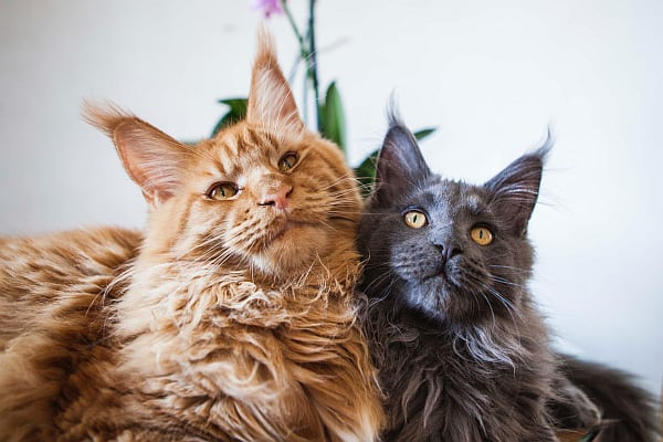 Maine Coon male vs female