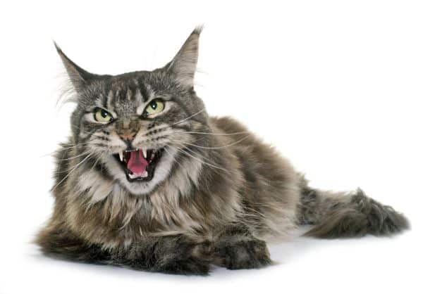 Why Do Maine Coon Cats Talk So Much? Tabby Maine Coon meowing