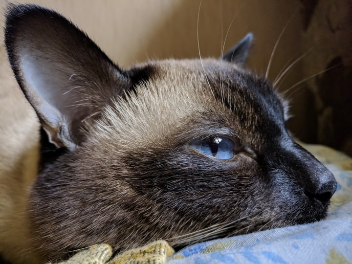 Is a Tonkinese Cat Right For Me?