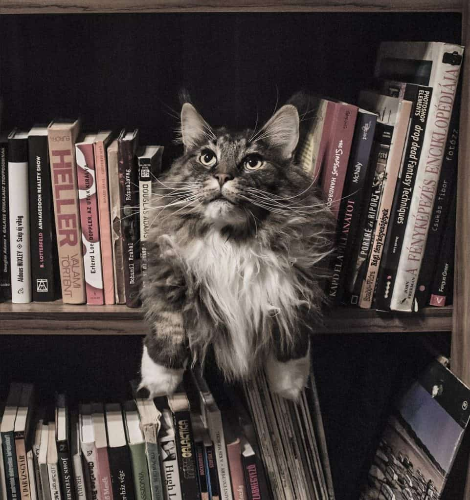 Are Maine Coons friendly? Cat in a bookcase