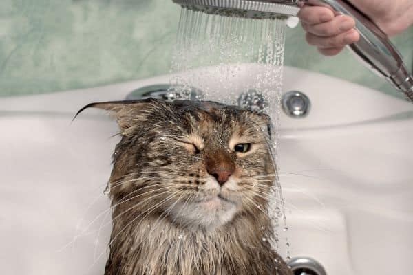 Are Maine Coons High Maintenance? Cat in shower