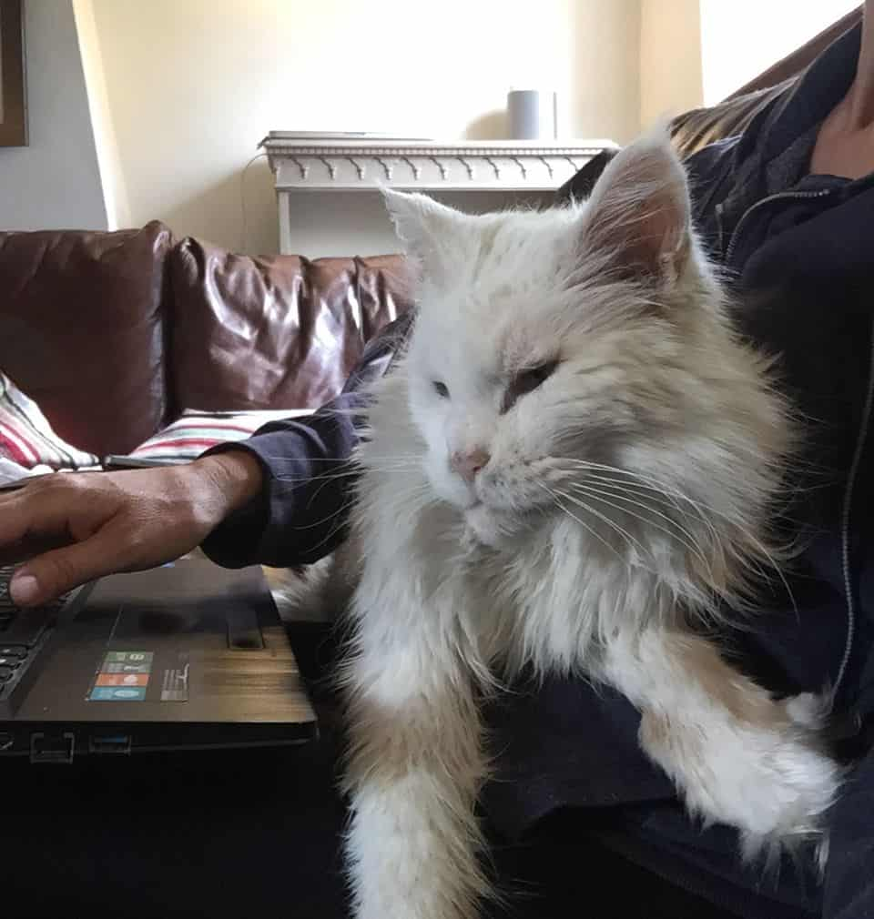 Are Maine Coons Easy To Train?