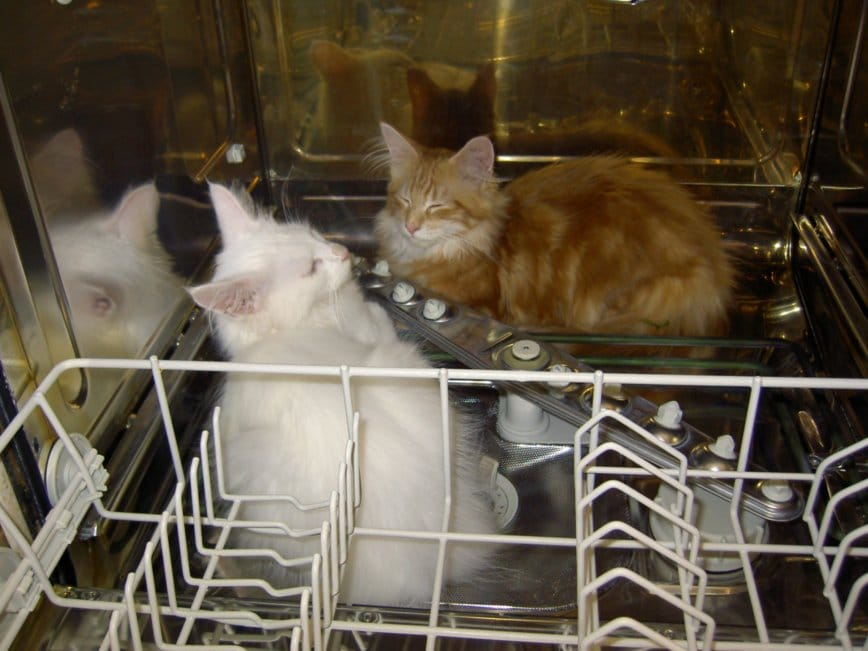Are Maine Coons Lap Cats? Cats in a dishwasher