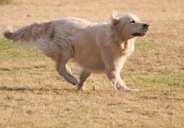 Things You Must Know Before Buying a Labrador: Running Lab