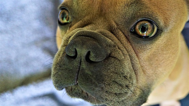 Why does my French Bulldog have a dry nose?