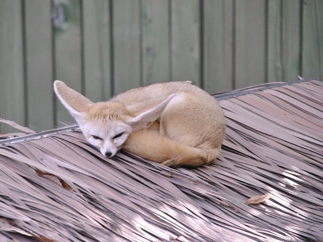 Can I have a Fennec Fox as a Pet?