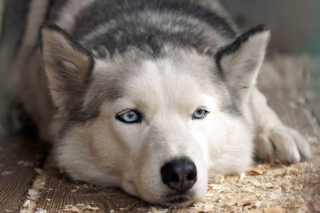 Things You MUST Know BEFORE Buying a Siberian Husky