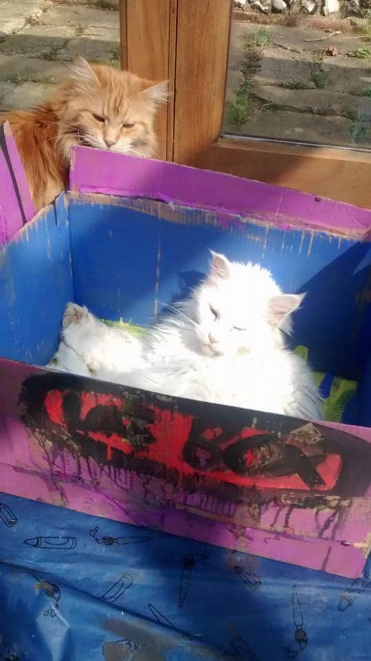 Are Maine Coons Lap Cats? cat in painted box