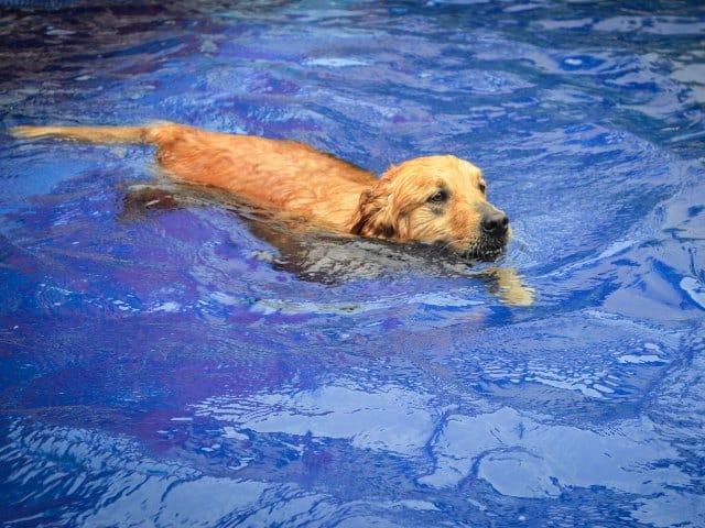 Things You Must Know Before Buying a Labrador: Lab swimming