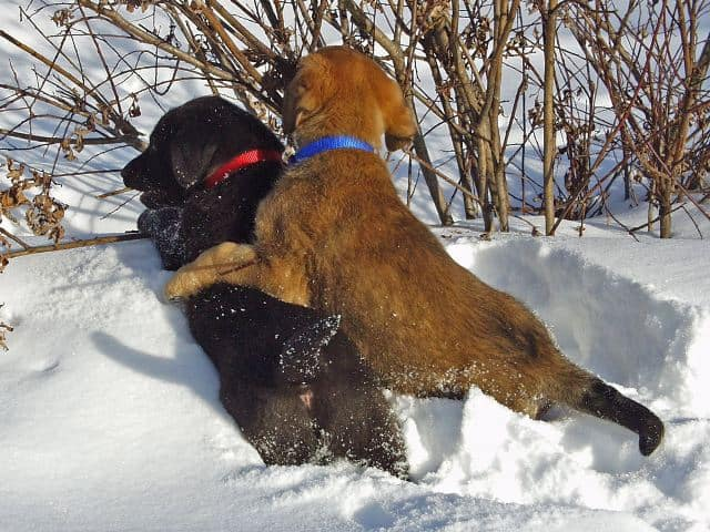 Things You Must Know Before Buying a Labrador: Labs in snow