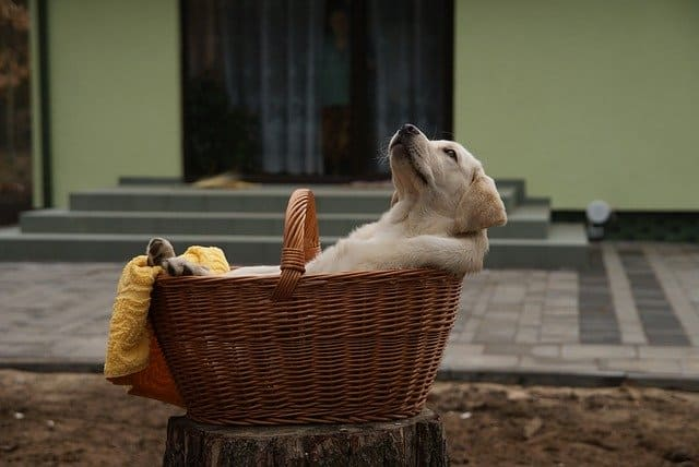 Things You Must Know Before Buying a Labrador: Lab in a basket