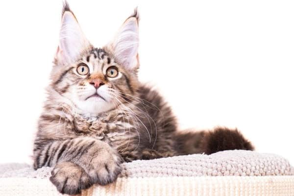 Are Maine Coons High Maintenance?Tabby Maine Coon