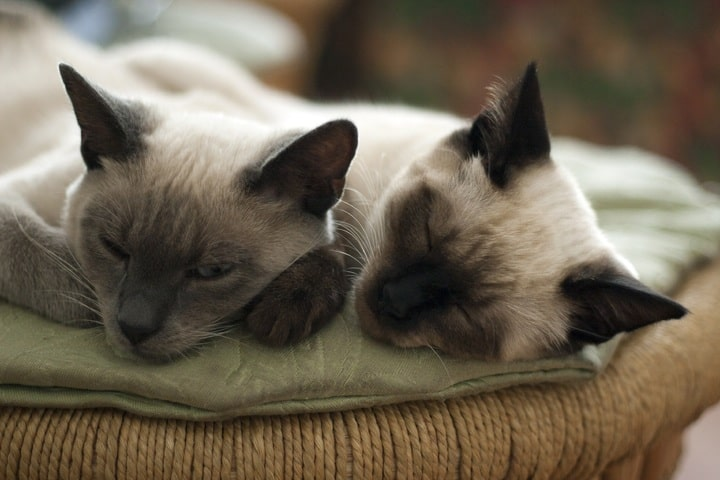 Can Tonkinese Cats Be Left Alone?