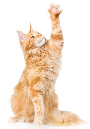 Are Maine Coons Polydactyl?