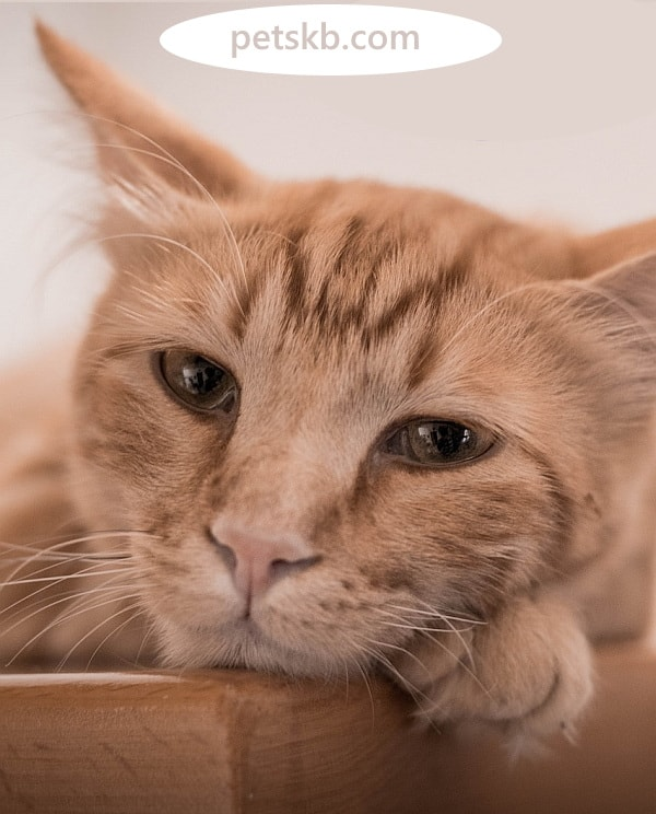 Do cats cry? Teary cat