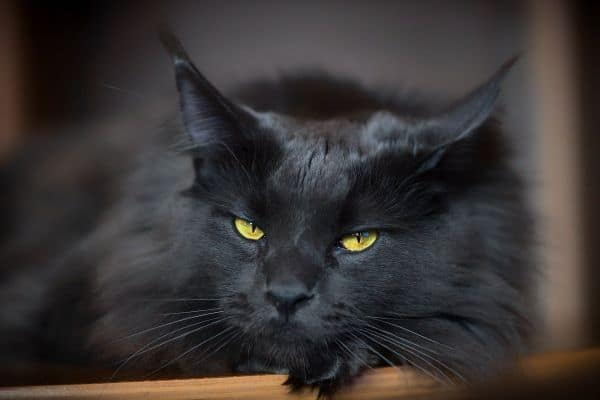 A black Maine Coon with amber eyes.