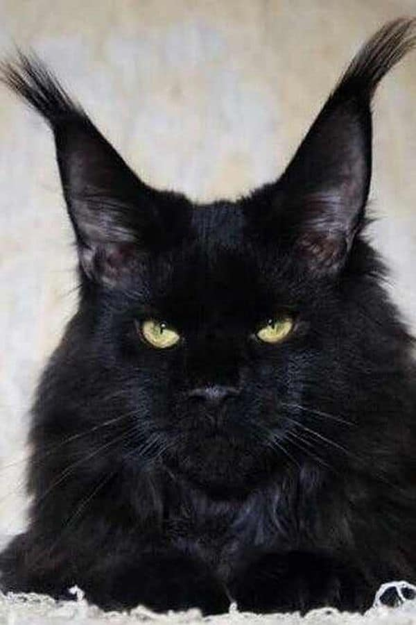 A stern-looking Black Maine Coon.