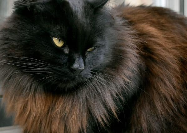 A black Maine Coon with fur fading to brown.